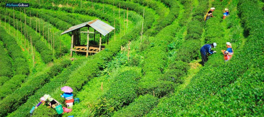 Darjeeling-Assam